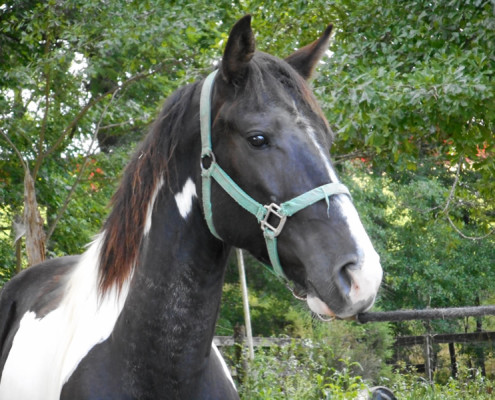 Gelding Horse For Sale